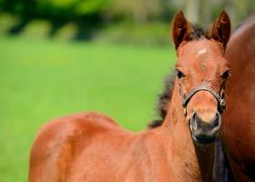 bay-foal