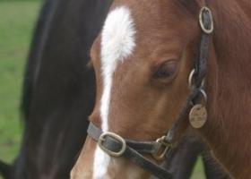 chesnut-foal