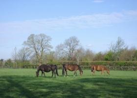 mares-grazing